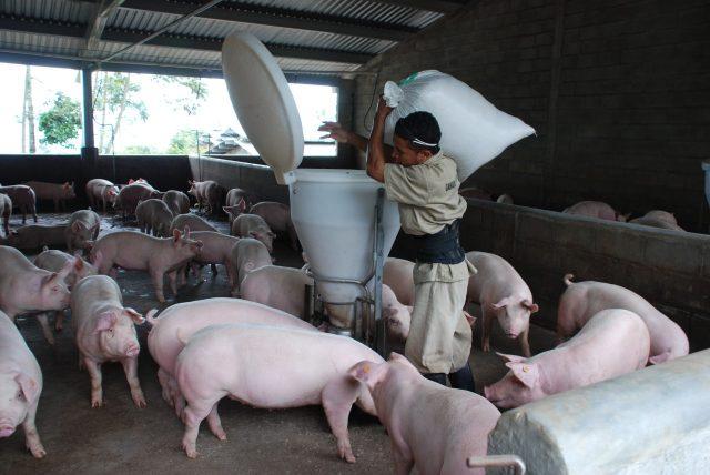 Preocupación en la porcicultura colombiana por  posible reforma tributaria