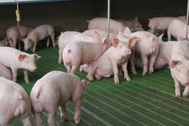 Comienza a faltar carne de cerdo en los hogares colombianos